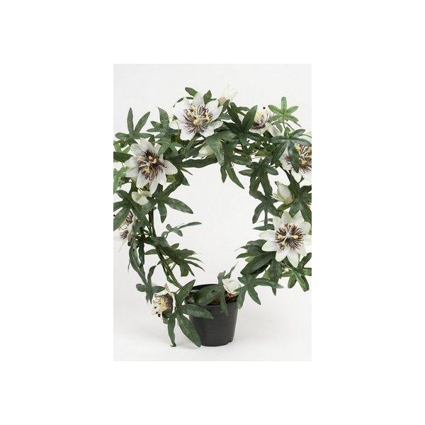 Passiflora, hvid, 40cm