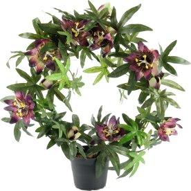 Passiflora, lilla, 40cm