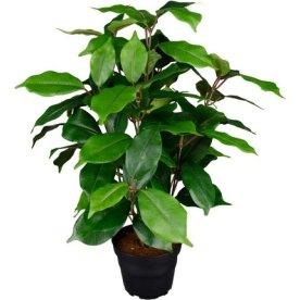 Ficus Benjamina, grøn, 40cm